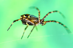 Argiope Anasuja Spider Royalty Free Stock Image