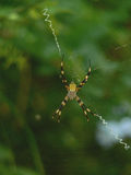 Argiope Appensa Royalty Free Stock Photography