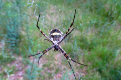 Argiope argentata银花园蜘蛛 免版税库存照片