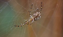 Argiope argentata behind the cobweb Stock Images