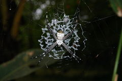 Argiope argentata silver argiope spider on its web Royalty Free Stock Images