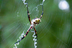 Argiope argentata silver garden spider. Argiope argentata spider family Araneidae, silver garden spider on a web spiderweb Royalty Free Stock Image