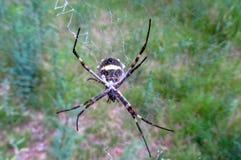 Argiope argentata silver garden spider royalty free stock photo