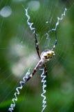 Argiope argentata silver garden spider. Argiope argentata spider family Araneidae, silver garden spider on a web spiderweb Stock Photos