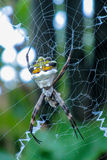 Argiope argentata silver garden spider Royalty Free Stock Photo