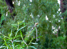 Argiope argentata silver garden spider. Argiope argentata spider family Araneidae, silver garden spider on a web spiderweb Stock Images