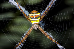 Argiope argentata spider. In web Royalty Free Stock Images