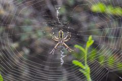 Argiope Audouin spider on Sunset stock image