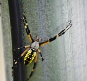 Black and yellow garden spider Stock Image