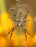 Argiope aurantia (female) Stock Image