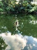 Argiope Aurantia oder gelbe Gartenkreuzspinne und Netz stockfotografie