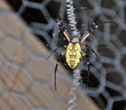 Argiope aurantia on wire screen Royalty Free Stock Images