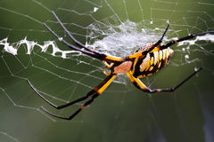 Argiope (black and yellow garden spider). Corn Spider (writing spider) in the path of its specific web royalty free stock image