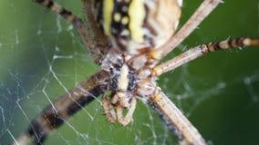 Argiope Bruennichi或者黄蜂蜘蛛,在网等待的食物的特写镜头 图库摄影