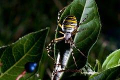 argiope bruennichi蜘蛛黄蜂 库存照片