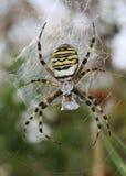 argiope bruennichi蜘蛛黄蜂 免版税图库摄影