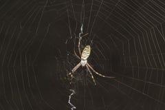 Argiope Bruennichi, ή αράχνη-σφήκα - δείτε araneomorph τις αράχνες της οικογένειας των αραχνών σφαίρα-Ιστού lat Araneidae Στοκ Εικόνες