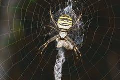 Argiope Bruennichi, ή αράχνη-σφήκα - δείτε araneomorph τις αράχνες της οικογένειας των αραχνών σφαίρα-Ιστού lat Araneidae - θήραμ Στοκ εικόνες με δικαίωμα ελεύθερης χρήσης