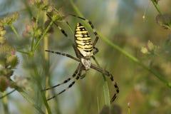 Argiope Bruennichi, ή αράχνη-σφήκα Στοκ φωτογραφία με δικαίωμα ελεύθερης χρήσης