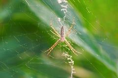 Argiope Bruennichi, ή αράχνη-σφήκα lat Το bruennichi Argiope είναι ένα είδος αραχνών araneomorph, ο αντιπρόσωπος του μεγάλου Στοκ φωτογραφία με δικαίωμα ελεύθερης χρήσης