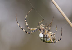 Argiope bruennichi Royalty Free Stock Images