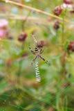 黄蜂蜘蛛-在他的网的Argiope bruennichi 库存照片