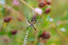 黄蜂蜘蛛(Argiope bruennichi)在他的网 免版税库存图片