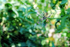 Argiope bruennichi, arachnid also called tiger spi. Der for its colors Royalty Free Stock Photo