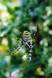 Argiope bruennichi, arachnid also called tiger spi. Der for its colors Royalty Free Stock Photography