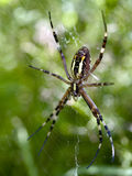 Argiope bruennichi, female, dorsal view Stock Photography