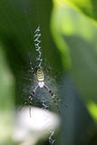 Argiope bruennichi on his web Royalty Free Stock Photos