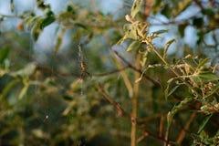 Argiope bruennichi jest gatunki zakłócający przez cały środkowego Europa sieć pająk, północny Europa, afryka pólnocna, części A Zdjęcia Royalty Free