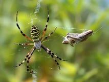 Argiope Bruennichi, o la araña de la avispa imagen de archivo libre de regalías