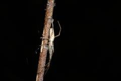 argiope bruennichi pająk Obrazy Royalty Free