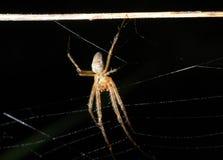 argiope bruennichi pająk Zdjęcia Stock
