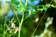 Argiope bruennichi spider on the hunt in the web in the grass. Argiope bruennichi Royalty Free Stock Photography