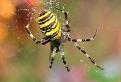 Argiope bruennichi Royalty Free Stock Photography