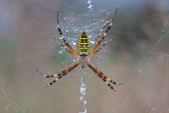 Argiope Bruennichi Spider on a spiderweb with water drops Royalty Free Stock Photos