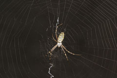 Argiope Bruennichi, or spider-wasp - view araneomorph spiders of the family of Orb-web spiders lat. Araneidae Stock Photo