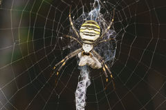Argiope Bruennichi, or spider-wasp - view araneomorph spiders of the family of Orb-web spiders lat. Araneidae - prey Royalty Free Stock Images