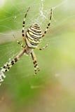 Argiope bruennichi, spider. Spider Argiope bruennichi weaves a web Royalty Free Stock Photo