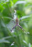 Argiope bruennichi Stock Photo