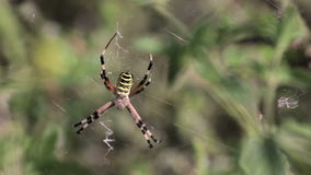 Argiope bruennichi Spinnen stock video