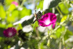 Argiope bruennichi is on the spiral orb-web royalty free stock photography