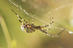 Argiope Bruennichi, the web of Stock Image