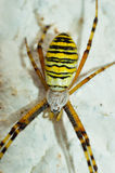 Argiope Bruennichi at the white wall Royalty Free Stock Photo