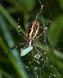 argiope bruennichi捉住cicade小的蜘蛛 免版税库存图片