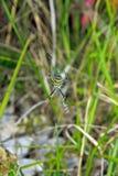 Argiope d'araignée Photos libres de droits