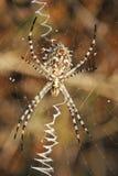Argiope de la araña lobulado en el Web Fotos de archivo