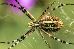 Argiope del ragno sulla caccia Fotografia Stock